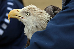 Bald Eagle right before release