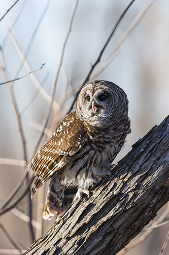 Mr. Chitters, the barred owl, sitting on a log