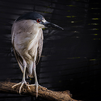 Bulbous the Black-Crowned Night Heron