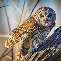 Chitters the Barred Owl