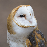 Forrest the Barn Owl