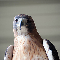 Shiloh the Red-tailed Hawk